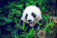 Panda Wallpaper 7
