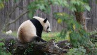 Panda Wallpaper 24