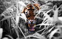 Tiger Wallpaper 18