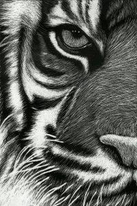 Tiger Wallpaper 16