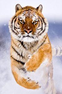 Tiger Wallpaper 15