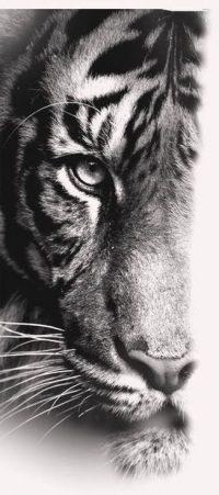 Tiger Wallpaper 14