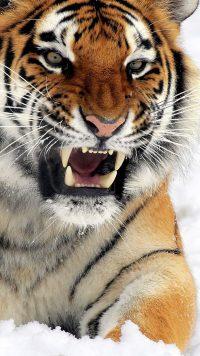 Tiger Wallpaper 12