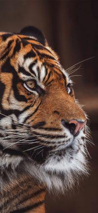 Tiger Wallpaper 9