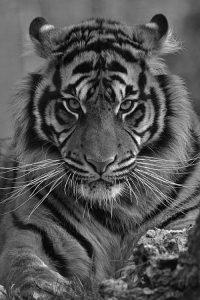Tiger Wallpaper 26