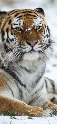 Tiger Wallpaper 8