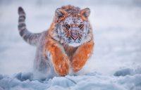 Tiger Wallpaper 6