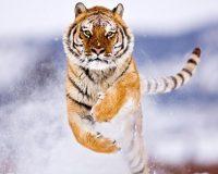 Tiger Wallpaper 5