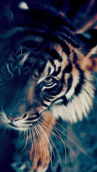 Tiger Wallpaper 2
