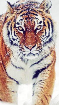 Tiger Wallpaper 25