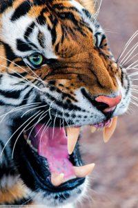 Tiger Wallpaper 24