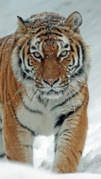 Tiger Wallpaper 23
