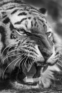 Tiger Wallpaper 20