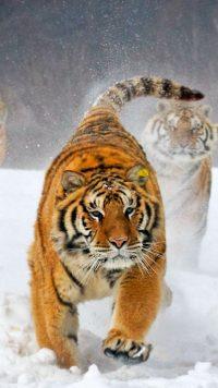 Tiger Wallpaper 19