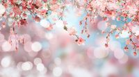 Cherry Blossom Wallpaper 11