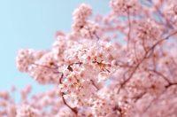 Cherry Blossom Wallpaper 34