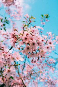 Cherry Blossom Wallpaper 35