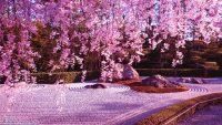 Cherry Blossom Wallpaper 36