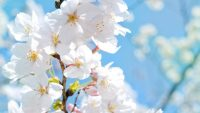 Cherry Blossom Wallpaper 37