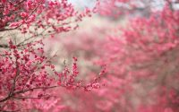 Cherry Blossom Wallpaper 38