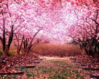 Cherry Blossom Wallpaper 39