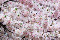 Cherry Blossom Wallpaper 40