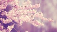Cherry Blossom Wallpaper 4