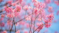 Cherry Blossom Wallpaper 7