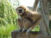 Gibbon Wallpaper 3