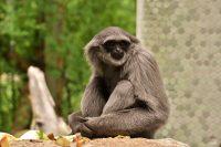 Gibbon Wallpaper 17