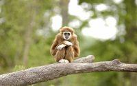 Gibbon Wallpaper 18
