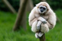 Gibbon Wallpaper 11