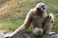 Gibbon Wallpaper 2