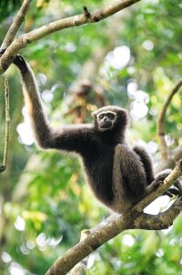 Gibbon Wallpaper 12