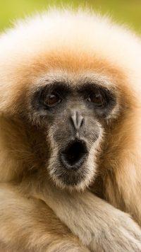 Gibbon Wallpaper 15