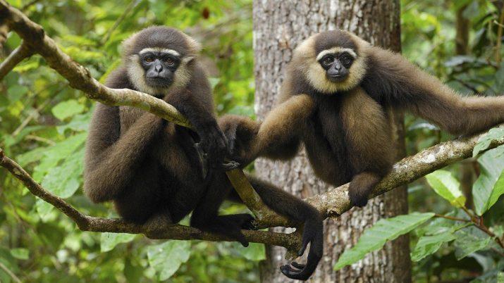 Gibbon Wallpaper 1