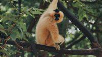 Gibbon Wallpaper 5