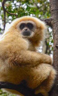 Gibbon Wallpaper 9