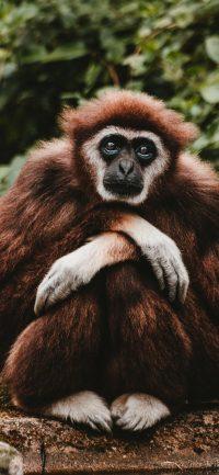 Gibbon Wallpaper 10