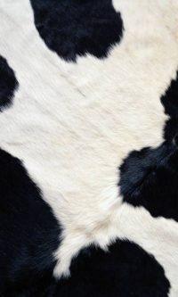 Cow Print Wallpaper 13