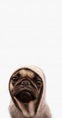 Pug Wallpaper 2