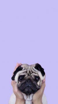 Pug Wallpaper 4