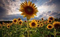 Sunflower Wallpaper 1