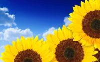 Sunflower Wallpaper 2