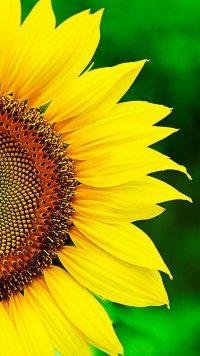 Sunflower Wallpaper 3