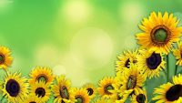 Sunflower Wallpaper 6