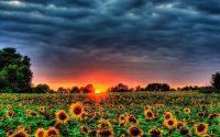 Sunflower Wallpaper 7