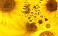 Sunflower Wallpaper 8