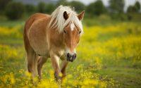 Horse Wallpaper 12