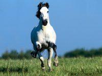 Horse Wallpaper 11